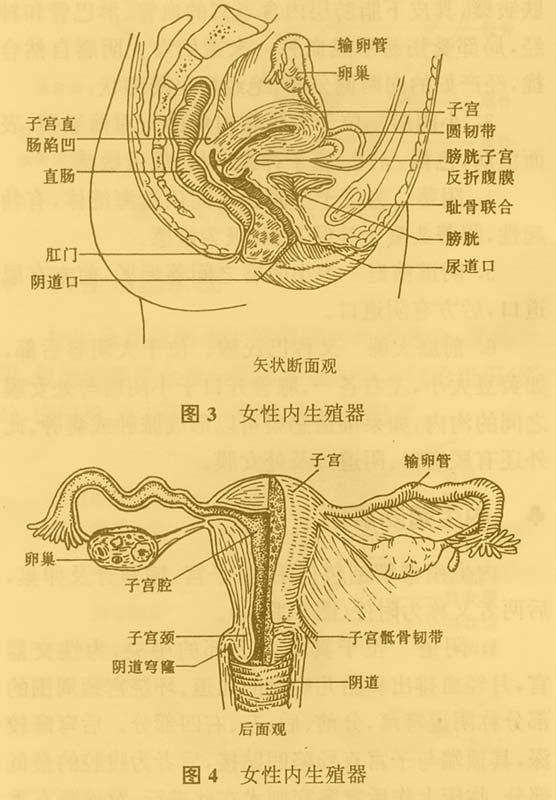 女性内生殖器内阴图